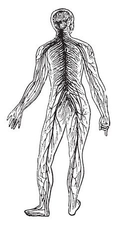 anatomie humaine: Syst�mes nerveux, illustration vintage grav�. Illustration