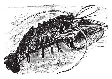 Lobster, vintage engraved illustration.