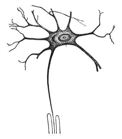 nerve fibers: A nerve-cell worker, vintage engraved illustration.