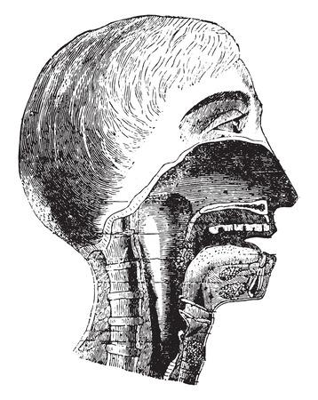esofago: Sección vertical de la boca y la faringe, ilustración de la vendimia grabado. Vectores
