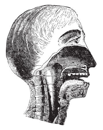 nasal cavity: Vertical section of the mouth and pharynx, vintage engraved illustration. Illustration