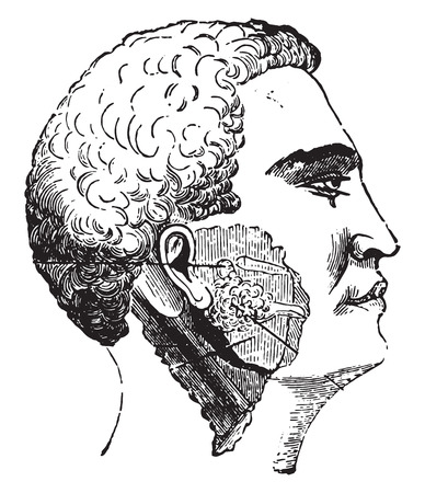 Salivary glands, vintage engraved illustration. Illustration