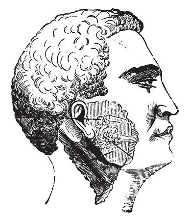parotid: Salivary glands, vintage engraved illustration. Illustration