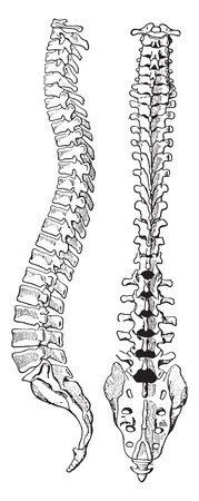 human bones: The spinal column of human body, vintage engraved illustration. Illustration