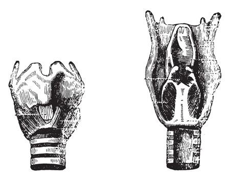flexible: Fig 1- Front face, Fig 2- Posterior surface, vintage engraved illustration.