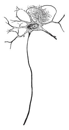 Nerve cell from front side of spinal column, vintage engraved illustration.
