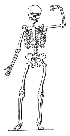 sternum: Human Anatomy (Skeleton), vintage engraved illustration.