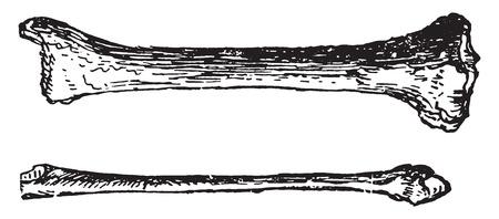 ulna: Ulna and radius, vintage engraved illustration.