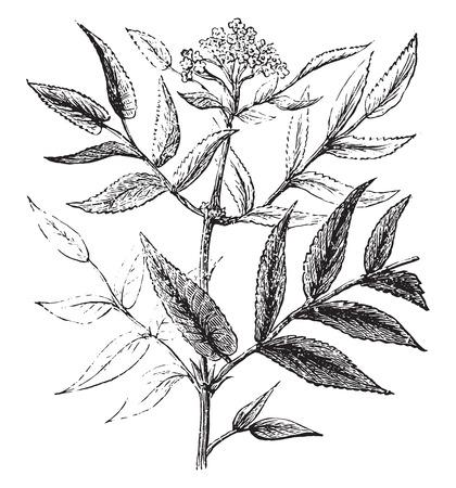 Hieble, vintage engraved illustration.