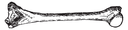 humerus: Humerus, vintage engraved illustration. Illustration