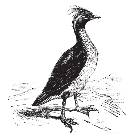 seabird: Guillemot, vintage engraved illustration.