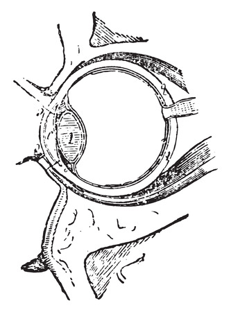 optic nerves: Muscles of the eye, vintage engraved illustration. Illustration
