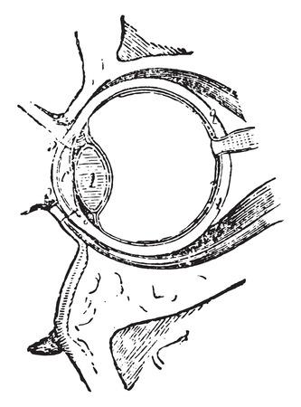 Spieren van het oog, vintage gegraveerde illustratie. Stock Illustratie
