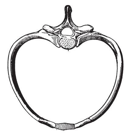 vertebra: Articulation of a pair of ribs to a vertebra, vintage engraved illustration.