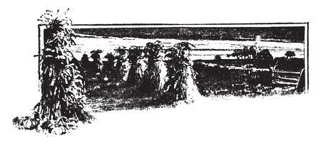 starch: Starch found in corn, vintage engraved illustration.