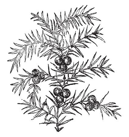 enebro: Juniper, vintage grabado ilustración.