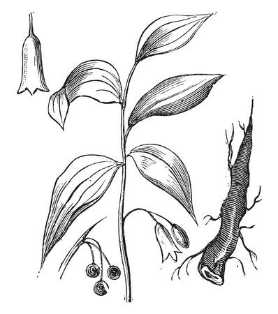 Dictamnus, vintage engraved illustration. Ilustrace