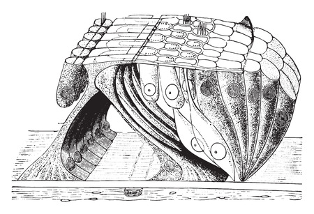 epithelial cells: Organ of corti, vintage engraved illustration.