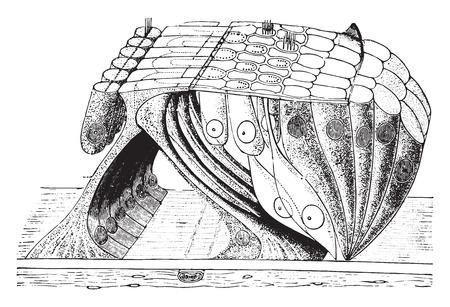 tympanic: �rgano de Corti cosecha ilustraci�n grabada,.