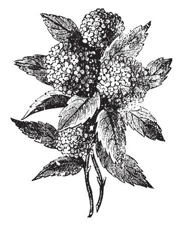 Hydrangea, vintage engraved illustration. Ilustracja