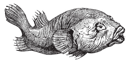 black fish: Gobiesoce tetarac, vintage engraved illustration.