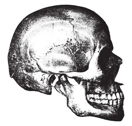 頭蓋骨の側面図、ヴィンテージには、図が刻まれています。  イラスト・ベクター素材