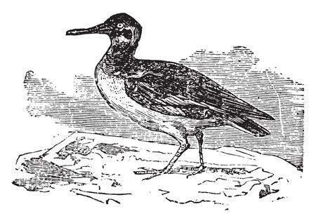 wader: Oystercatcher, vintage engraved illustration.
