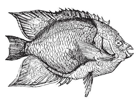 gills: Holacanthus, vintage engraved illustration.