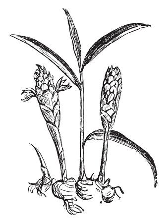Ginger, vintage engraved illustration. Иллюстрация