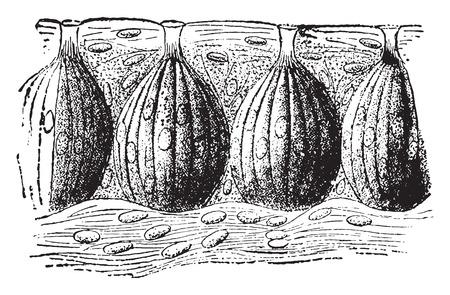 Taste buds, vintage engraved illustration. Illustration