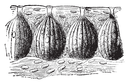buds: Taste buds, vintage engraved illustration. Illustration