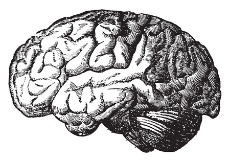 cerebro blanco y negro: El cerebro, ilustración de la vendimia grabado.