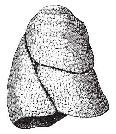 fissure: The right lung, vintage engraved illustration.