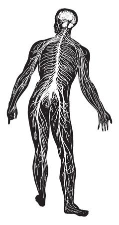 Het zenuwstelsel, vintage gegraveerde illustratie.
