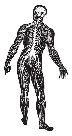 The nervous system, vintage engraved illustration. Иллюстрация