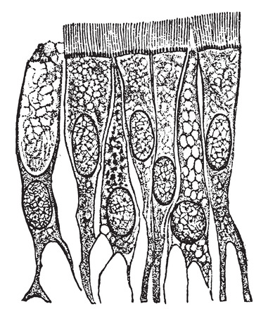 epithelium: Ciliated epithelium cells from the trachea(windpipe), vintage engraved illustration. Illustration