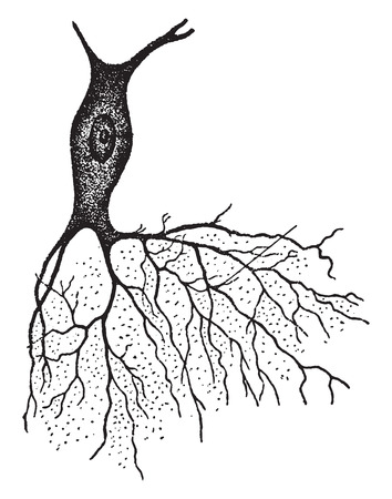 anatomie humaine: Un nerf avec Bush comme projection, illustration vintage gravé.