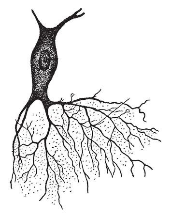 anatomia humana: Un nervio con el arbusto como proyección, ilustración de la vendimia grabado.