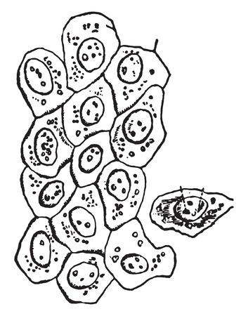 Simple epithelium cells, vintage engraved illustration. Illustration