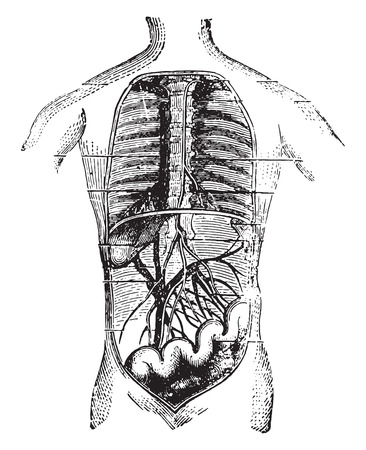 hepatic portal vein: Absorbents of the intestine, vintage engraved illustration.