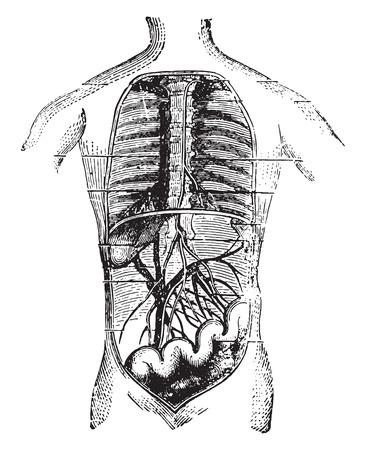 vintage anatomy: Absorbents of the intestine, vintage engraved illustration.