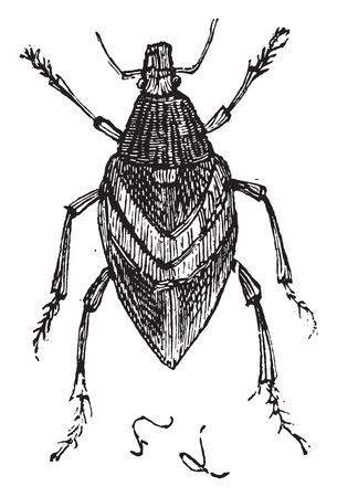 weevil: Weevil, vintage engraved illustration.
