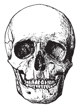 engraving: Side view of skull, vintage engraved illustration.