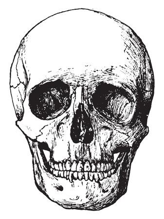 Side view of skull, vintage engraved illustration.