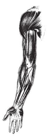 Front view of muscle, shoulder, arm, forearm, vintage engraved illustration.