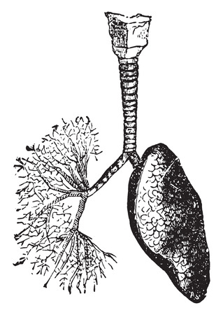 trachea: The trachea and bronchi leading air to the lungs, vintage engraved illustration.