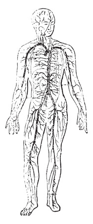 aortic bodies: Unit of circulation, vintage engraved illustration.
