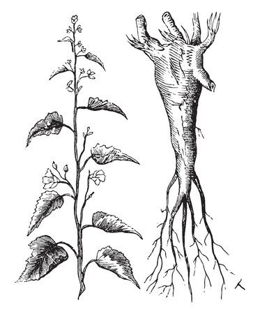 Marshmallow, vintage engraved illustration. Illustration