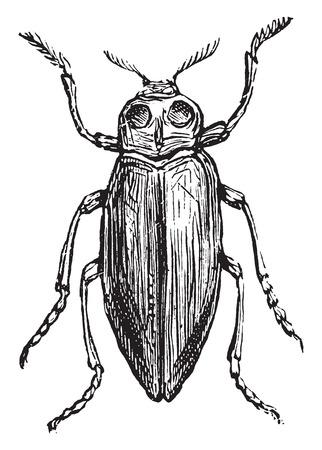 borer: Borer, vintage engraved illustration. Illustration