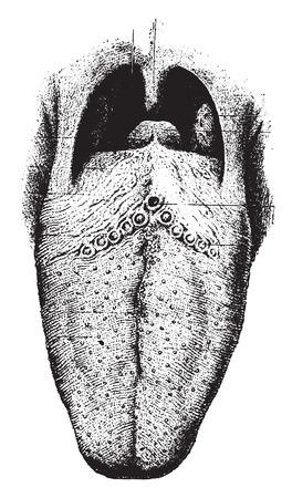 The tongue showing papilla, vintage engraved illustration. Illustration